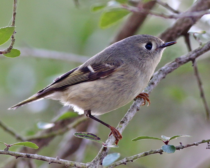 ruby-crowned-kinglet-sm-02-01-2015